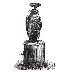 Hooded peregrine falcon vintage vector