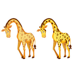 Two wild giraffes on white background vector