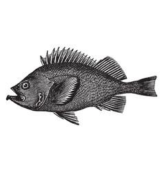 rose fish vintage vector image