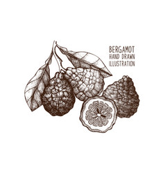 ink hand drawn bergamot fruit sketch vector image
