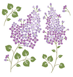 Lilac flowers isolated on a white backgorund vector