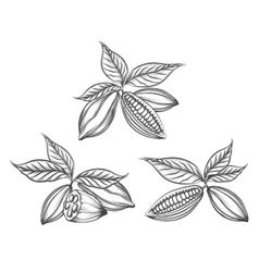 Cacao beans engraved vector image