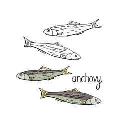Hand drawn fish anchovy black and white and color vector