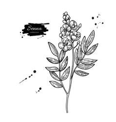 Senna drawing isolated medical flower and vector