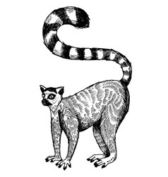 Ring tailed lemur engraving vector