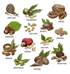 Set of isolated different nut types vector