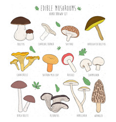 Set of edible mushrooms with titles on white vector
