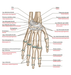 Ligaments of the hand vector