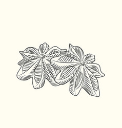 Hand drawn badian dry anise isolated on vector
