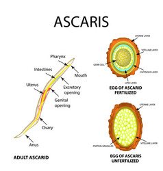 ascaris the structure fertilized unfertilized egg vector image