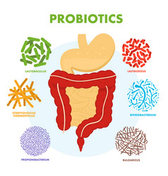 Human digestive tract system with probiotics vector