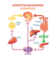 Appetite and hunger hormones vector