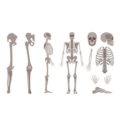 human skeleton body bones and skull set vector image