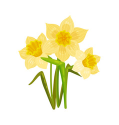 Yellow daffodil on a white vector