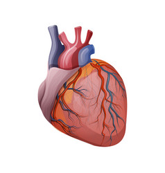 Anatomy of the heart vector
