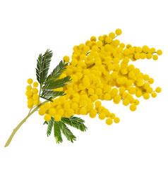 yellow mimosa branch flower acacia symbol of love vector image