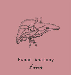Handdrawn human liver vector