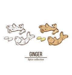 medicinal and kitchen plant ginger vector image