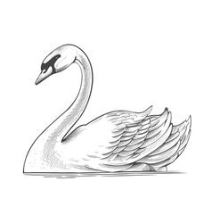 Swan in engraving style vector image