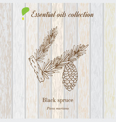 black spruce essential oil label aromatic plant vector image