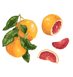 grapefruit set with fruits on the branch and vector image