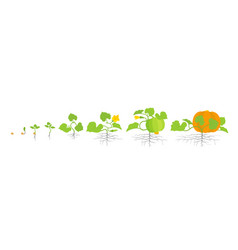 Growth stages pumpkin plant vector