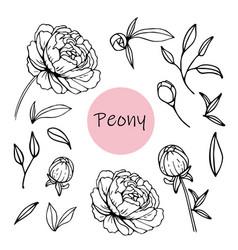 set peony flowers vector image