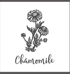 Herb medicinal chamomile hand drawn sketch vector