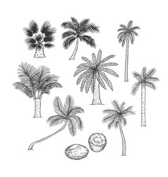 Sketch set of palm different kinds of vector