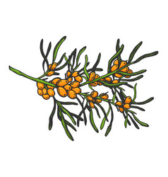 sea buckthorn branch sketch engraving vector image