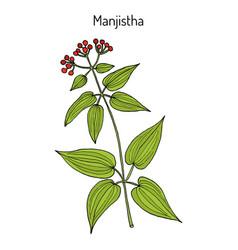 manjistha rubia cordifolia or indian madder vector image