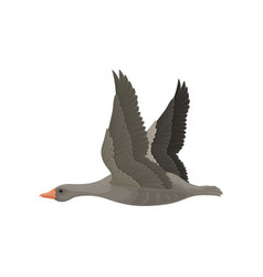 Large gray goose in flying action with wide open vector