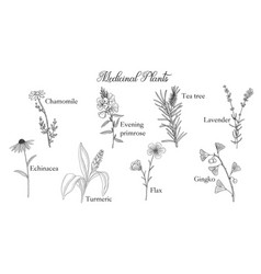 Drawing medicinal plants vector