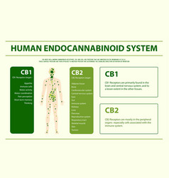 Human endocannabinoid system infographic vector