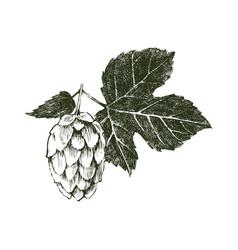 hand drawn hop plant vector image