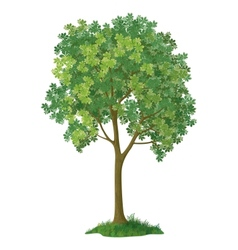 Chestnut tree vector