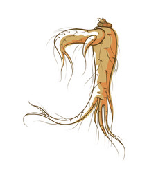 Ginseng medicine root icon traditional healthy vector