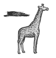 giraffe sketch zoo and african jungle wild animal vector image