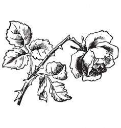 antique rose engraving vector image