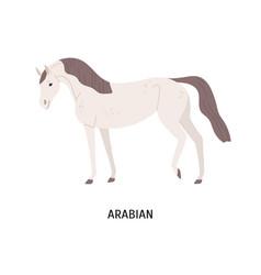 Arabian horse flat beautiful vector
