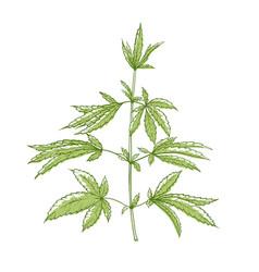 Marijuana green plant medical natural herb vector