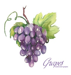 Watercolor of grapes vector image