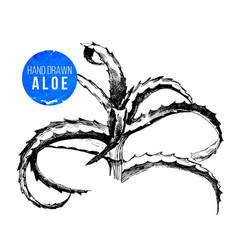 hand drawn aloe vera plant vector image vector image