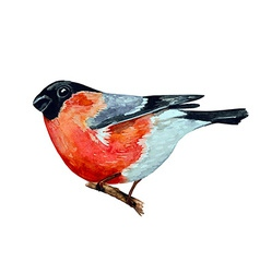 watercolor painting bullfinch on branch vector image