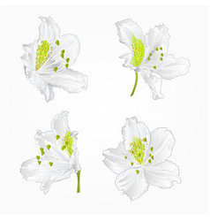 blossoms white rhododendrons red set three vector image