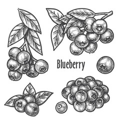 Blueberry hand drawn sketch forest berry fruits vector