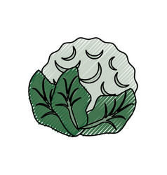 cauliflower delicious vegetable vector image
