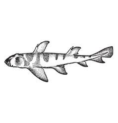 Port jackson shark vintage vector