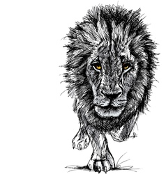 Sketch of a big male African lion vector image