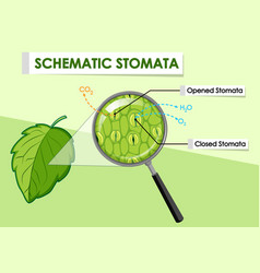 Diagram showing schematic stomata a plant vector
